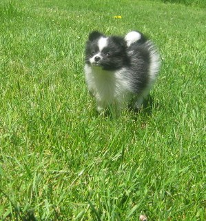 Pomeranian in Field