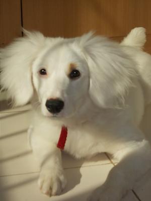 I own a Pomeranian Dachshund  Dachshund Pomeranian Mix